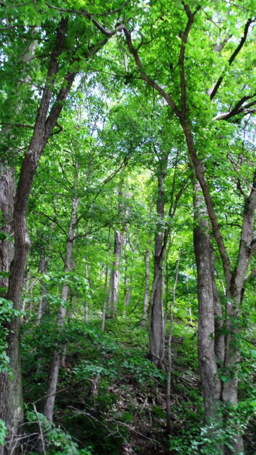 These are the trees above Mark Twain cave